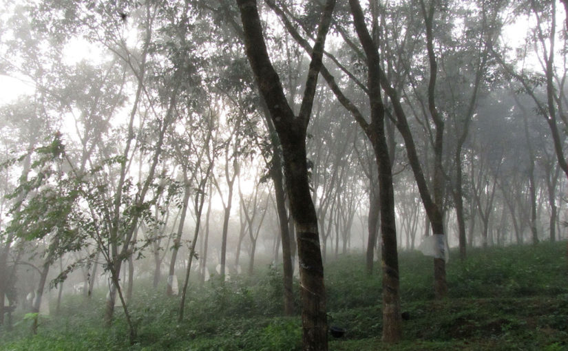 December Mist in the Rubber Plantation in Kerala